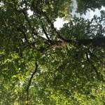 Betroffene Eiche in der Waldstr.