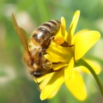 Bienen. Bild: luise  / pixelio.de